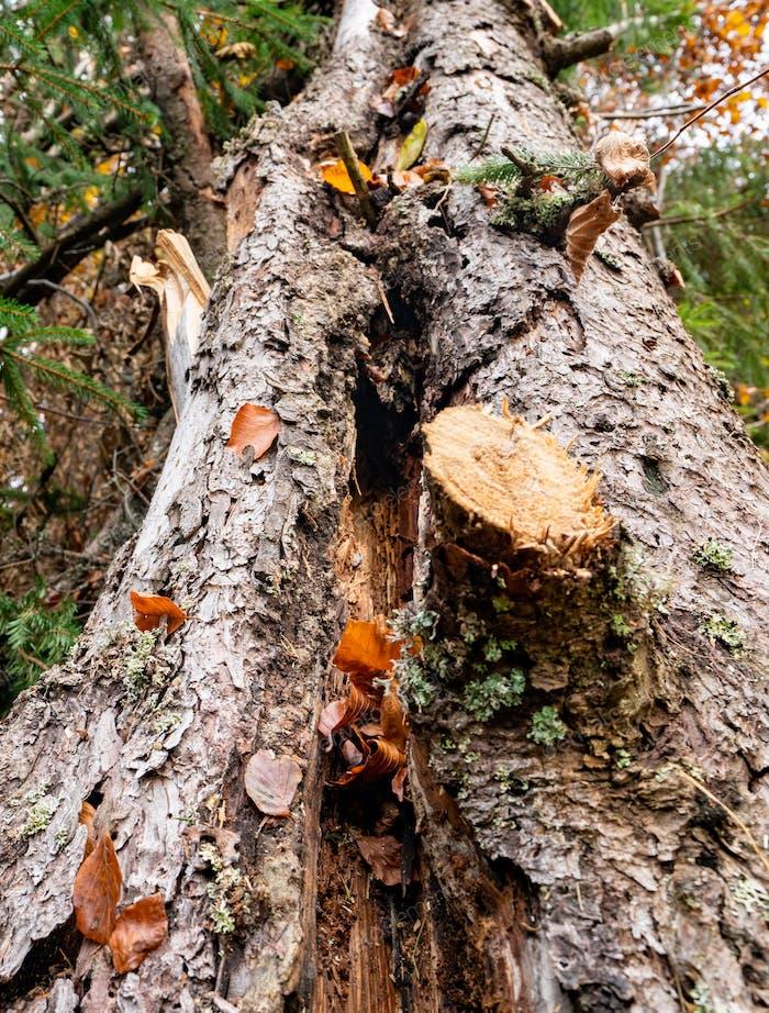 A large fallen tree in a beautiful forest among fallen leaves