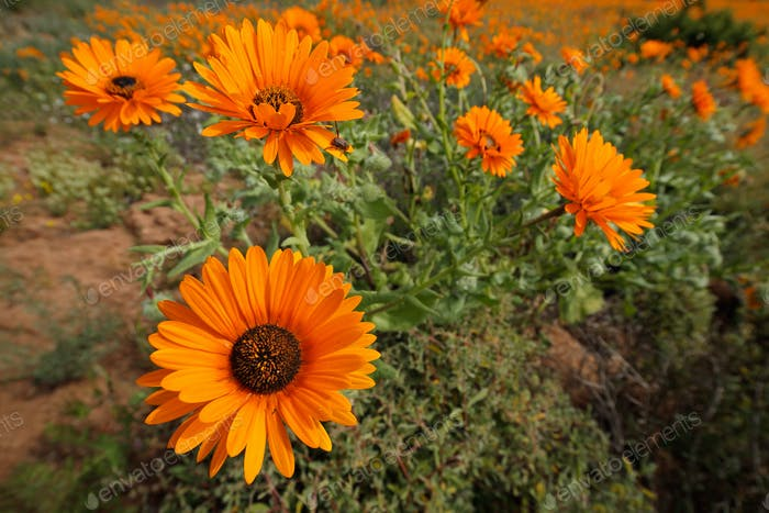 Wild flowers - South Africa