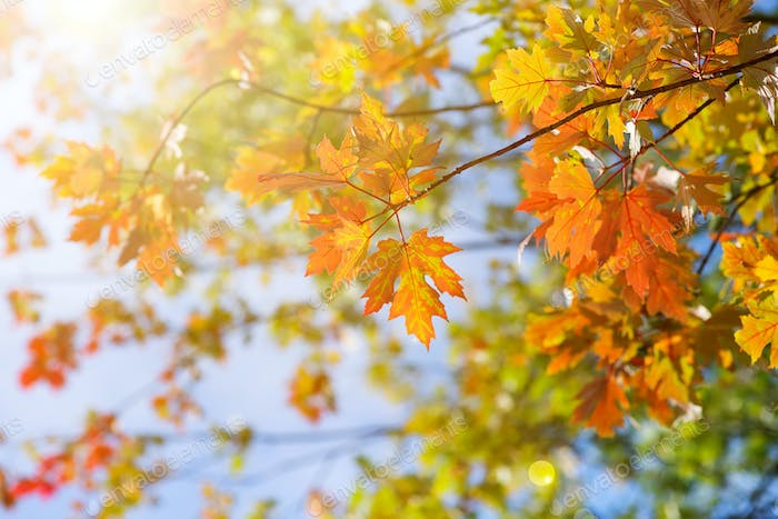 Autumn trees in a forest and clear blue sky with sun