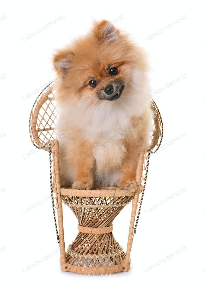 pomeranian puppy in studio