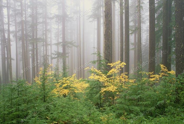 Hemlock und Wein-Ahornbäume im Umpqua National Forest. Grünes und gelbes Laub.