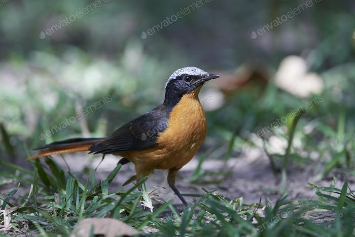 White-crowned robin-chat (Cossypha albicapilla)
