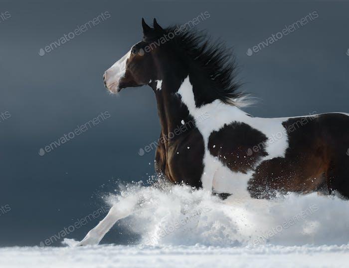American Paint horse running gallop across winter snowy field