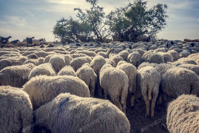A flock of sheep in India