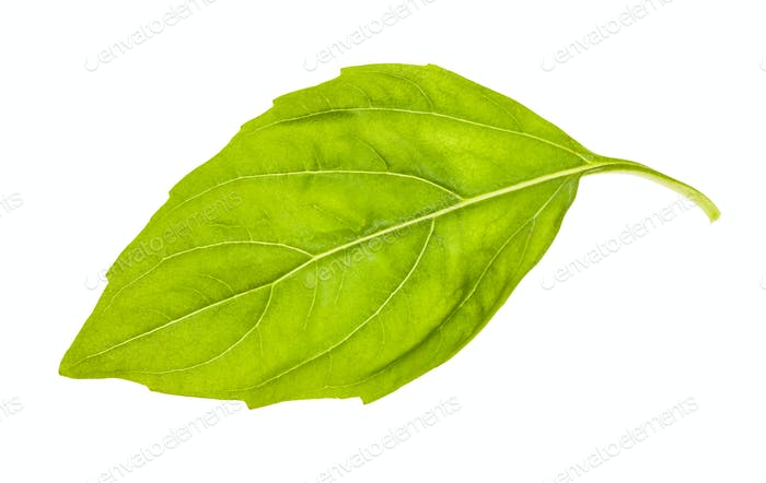 wet leaf of fresh green basil herb isolated