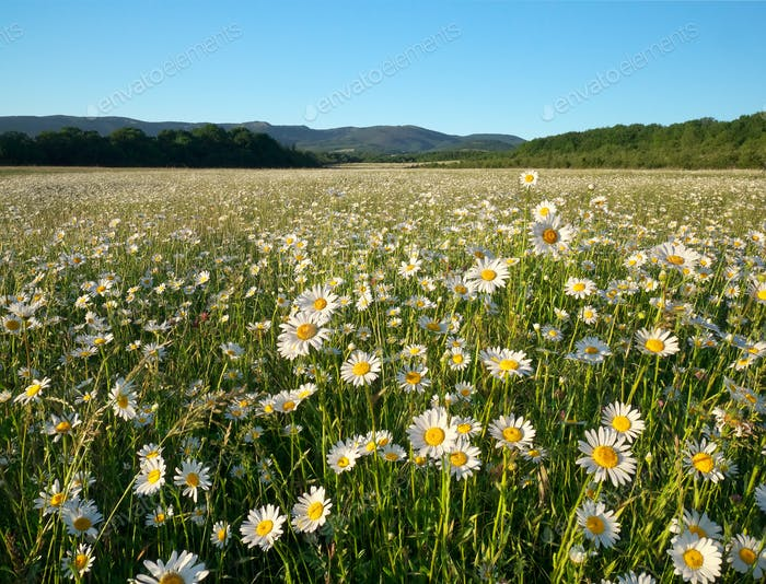 Spring daisy flowers in mountain meadow.
