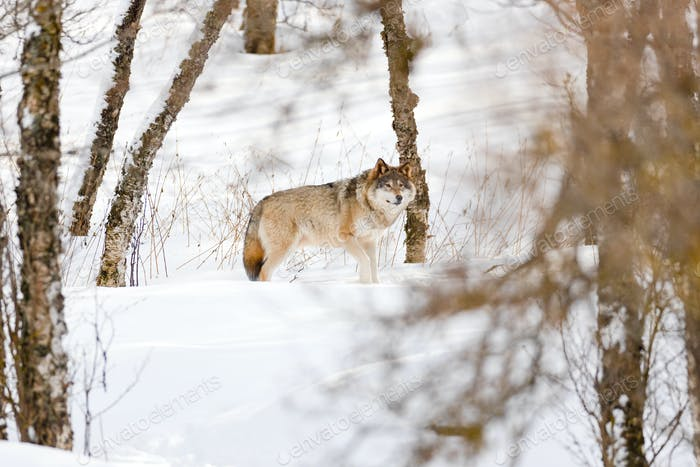 Canis Lupus strolling amidst bare trees on snow at park