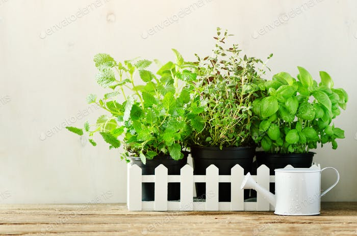 Green fresh aromatic herbs - melissa, mint, thyme, basil, parsley in pots, watering can on white and