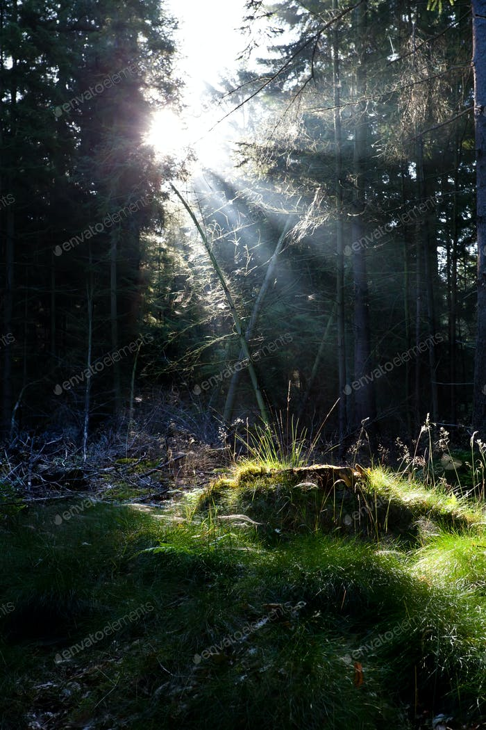 sunbeams in old coniferous forest