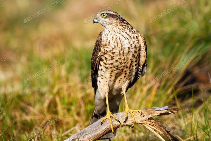 Interessierte eurasische Sperling Blick beiseite in der Natur mit Gras im Hintergrund