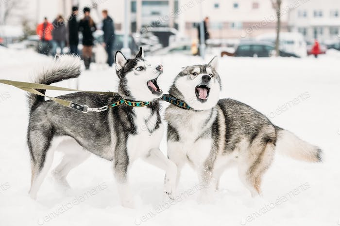 Two Funny Husky Dogs Play Together Outdoor In Snow At Winter Day