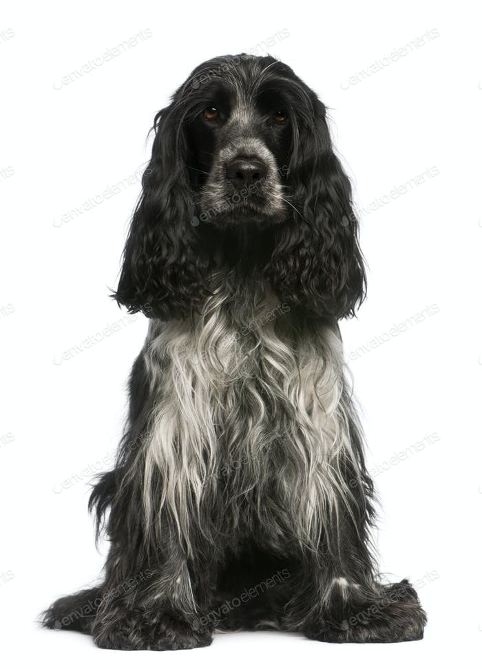 English Cocker Spaniel, 2.5 years old, sitting in front of white background
