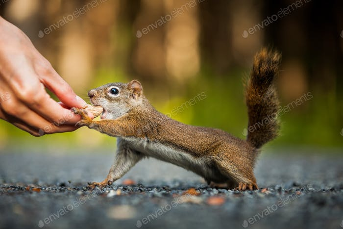 Funny Close-up of Woman Feeding a Red Squirrel on the ground