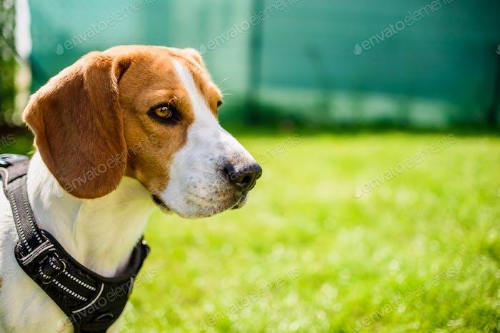 Beagle dog on a grass in park garden outdoors