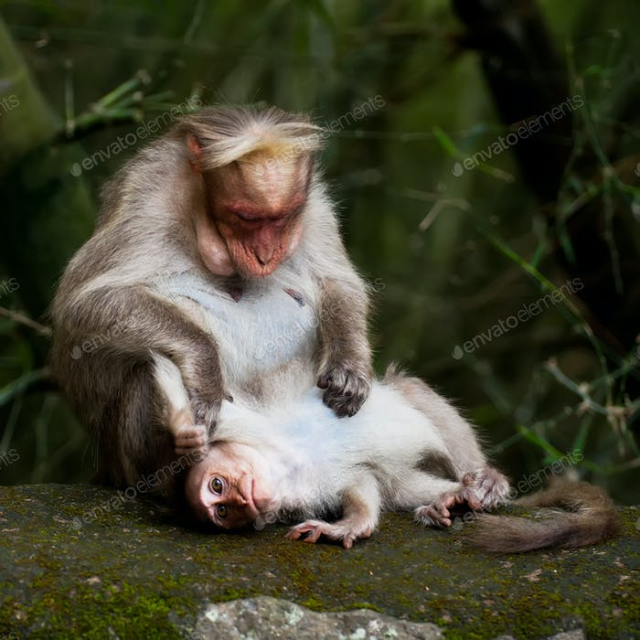 Thumbnail for Mother macaque monkey cleaning her baby in bamboo forest. South