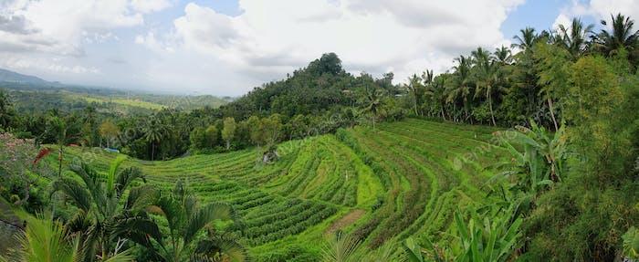 Hellgrüne Reisfelder mit Palmen