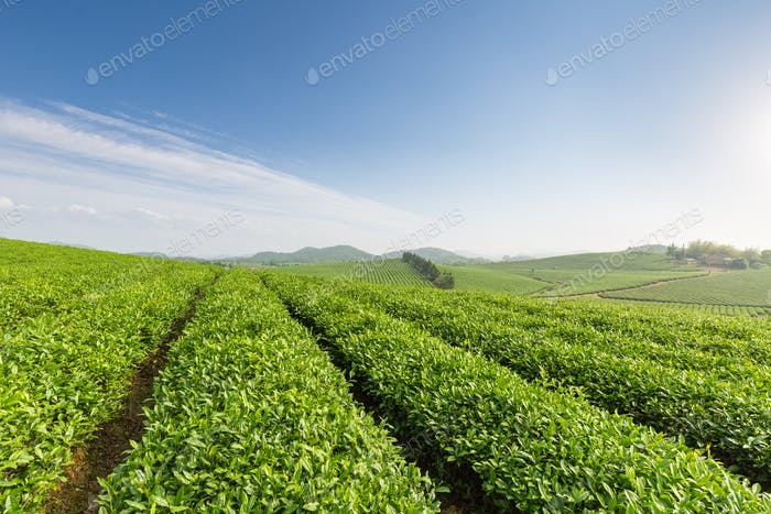 beautiful tea plantation in sunny morning