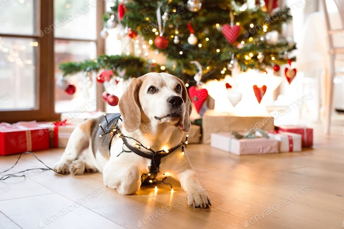 Beagle dog in front of illuminated Christmas tree.