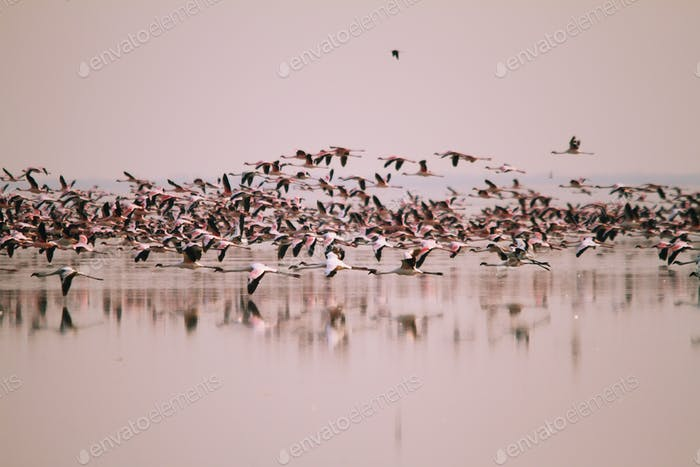 A huge flock of Lesser Flamingos flying