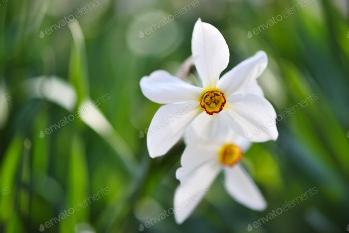 Close-up of White Daffodil (Narcissus poeticus) Flowers in Spring