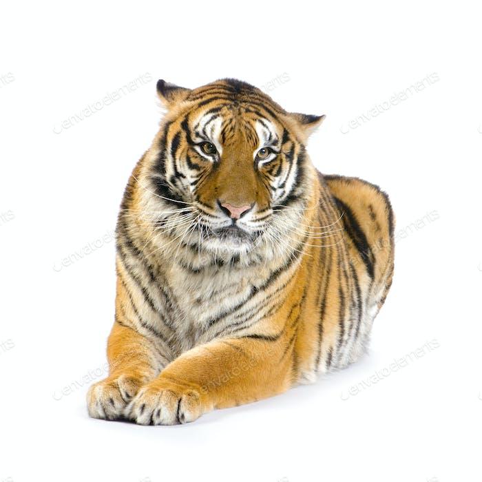 Tiger liegend