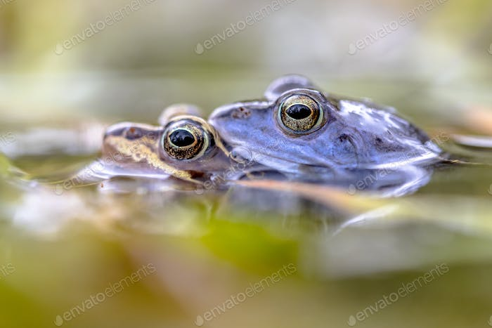 Moor frog couple mating submersed in water
