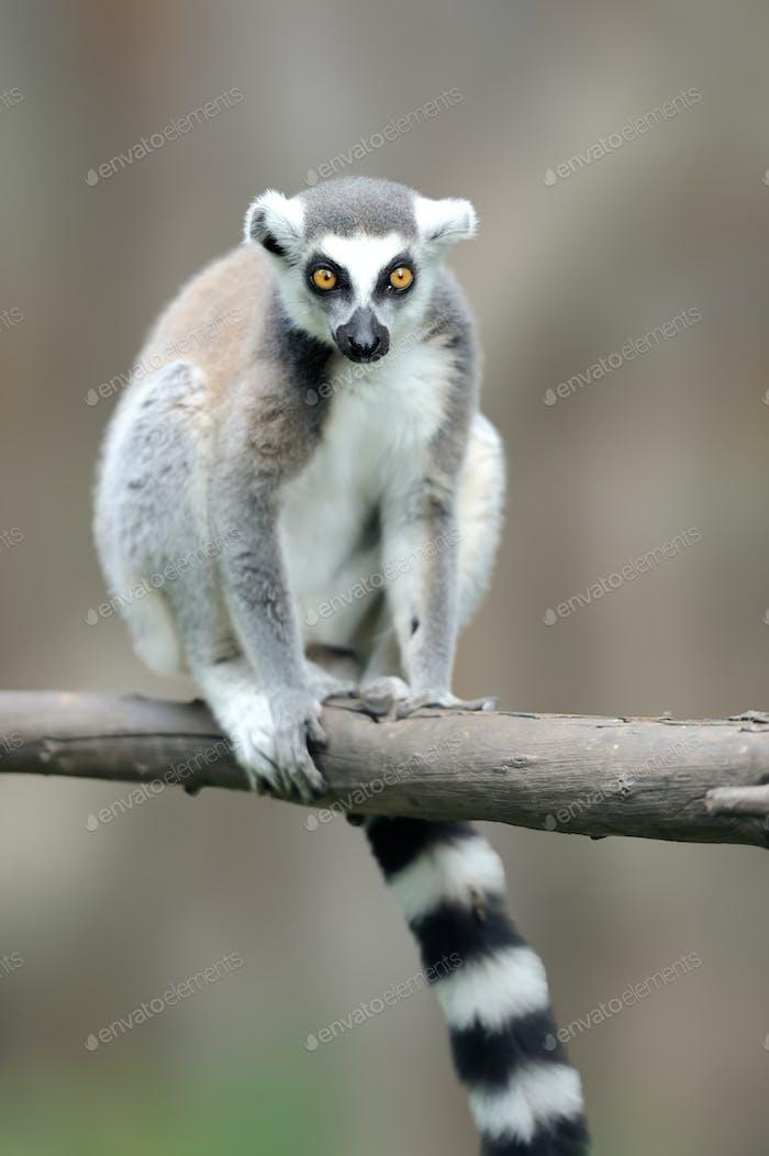 Ringschwanz-Lemur, Lemur catta, mit klarem Hintergrund
