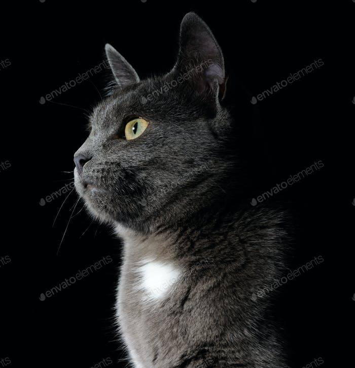 cute grey cat