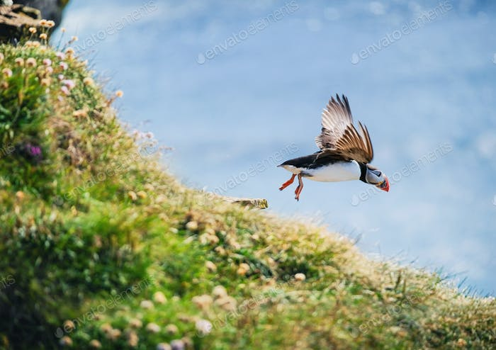 Puffin in Iceland. Seabirds on sheer cliffs. Birds on the Westfjord in Iceland.