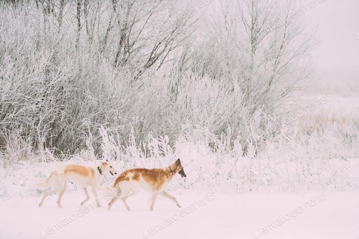 Two Russian Wolfhound Hunting Sighthound Russkaya Psovaya Borzay