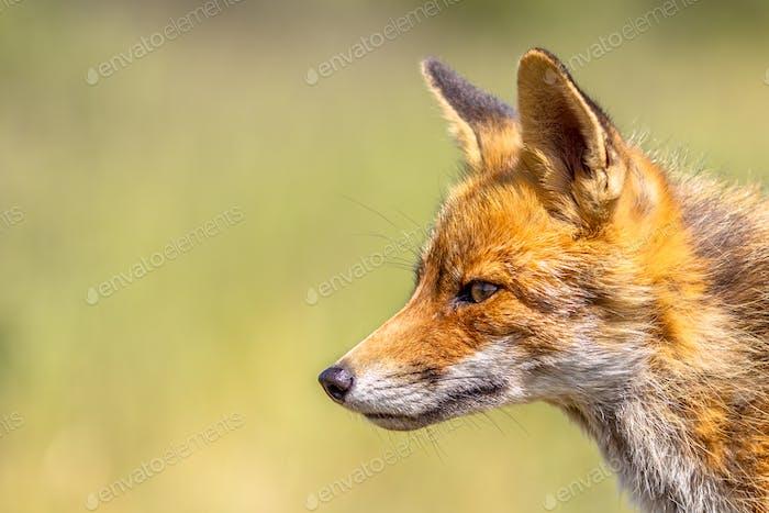 Red Fox portrait side