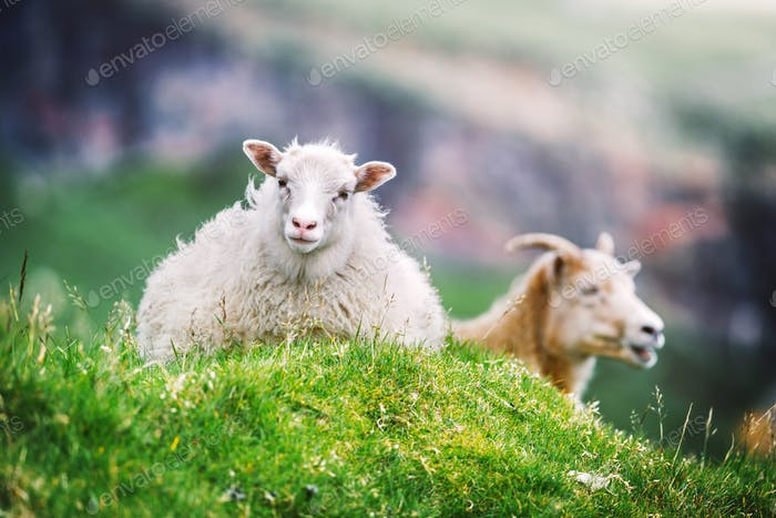 Two sheeps on green grass meadow on Faroe islands