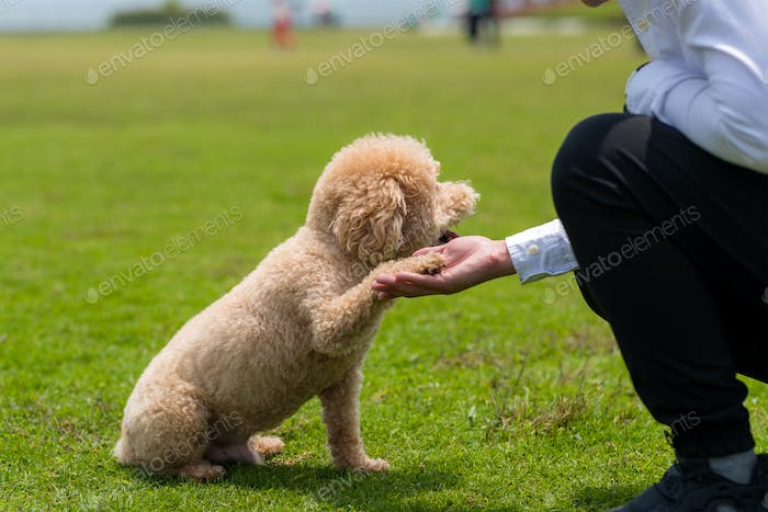 Dog Poodle shake hand with owner