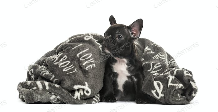 Puppy French Bulldog in a pillow, 2 months old, isolated on white