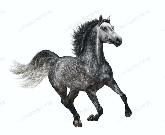 Dapple-grey Horse in Motion - Isolated on White