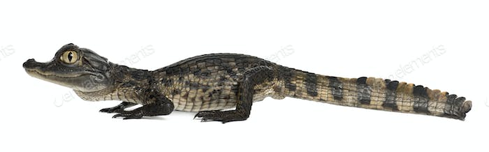 Spectacled Caiman, Caiman crocodilus, also known as a the White Caiman or Common Caiman, 2 months