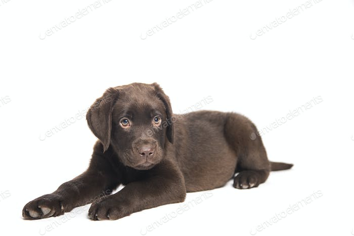 isolated portrait of a chocolate labrador puppy crouched and wit