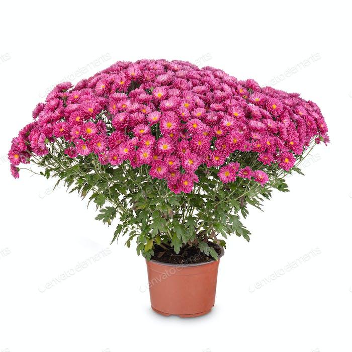Blumen von Chrysantheme