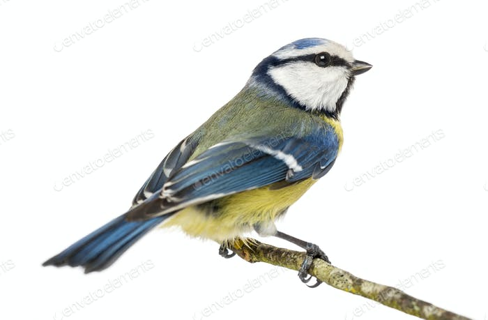 Blue Tit perched on a branch, Cyanistes caeruleus, isolated on white
