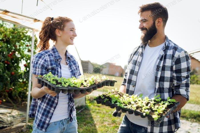 Sämlinge von Tomaten. Tomaten im Gewächshaus anbauen