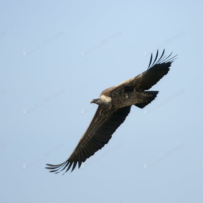 White-backed Vulture flying in Serengeti National Park, Tanzania, Africa