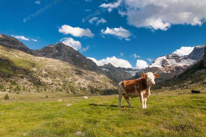 Einsame Kuh weiden auf den italienischen Alpen