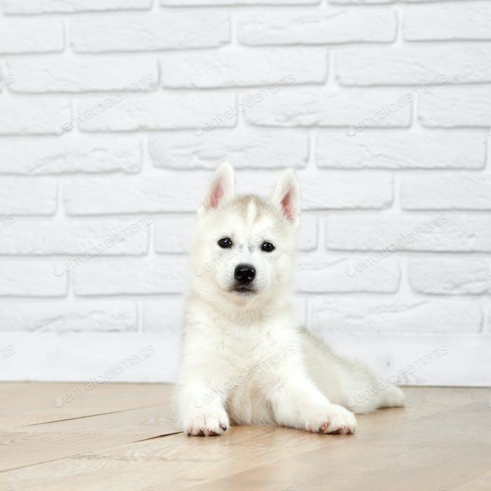 Siberian husky puppy at studio
