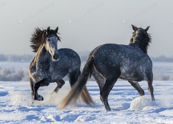 Dancing Andalusian horses. Two Spanish gray stallions playing together