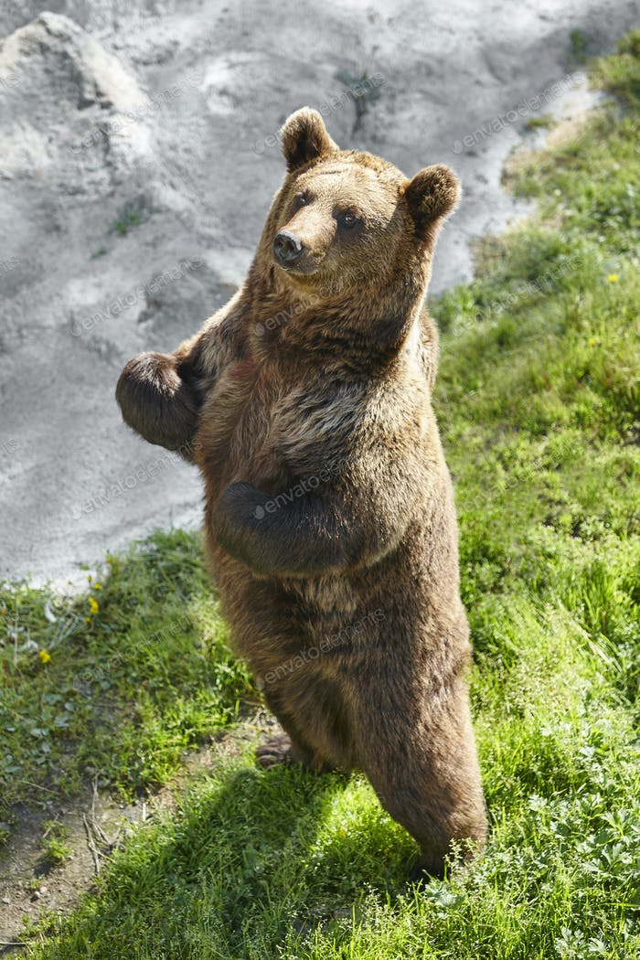 Brown bear standing on the ground. Wildlife environment. Animal background