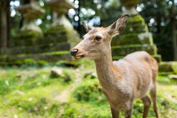 Deer in Japanese temple