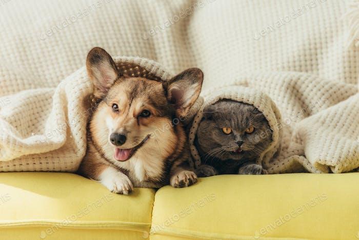 funny pets lying under blanket on sofa