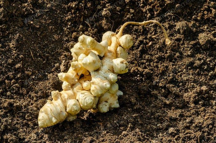 Jerusalem artichoke tubers, topinambur roots on garden soil