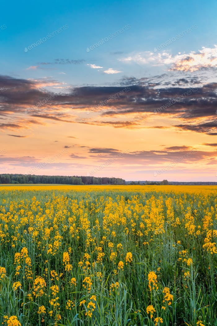 Sunset Sunrise Sky Over Horizon Of Spring Flowering Canola, Rape