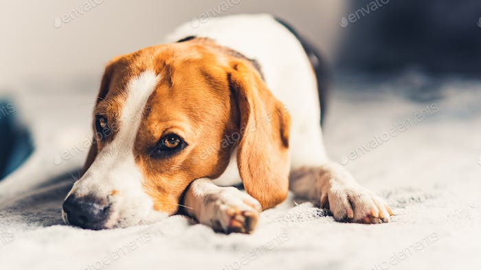Dog lying down on sofa in bright room on blanket. Copy space
